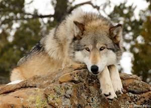 Timber Wolf named Smokey